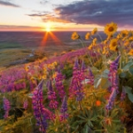 "Lupine and Sunset on Steptoe Butte • <a style=""font-size:0.8em;"" href=""http://www.flickr.com/photos/56452031@N00/26158149014/"" target=""_blank"">View on Flickr</a>"