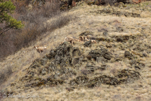 Bighorn Sheep at Asotin Creek.