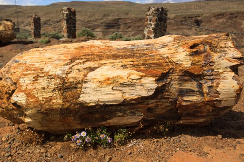 Petrified logs in Washington's Columbia River Valley.