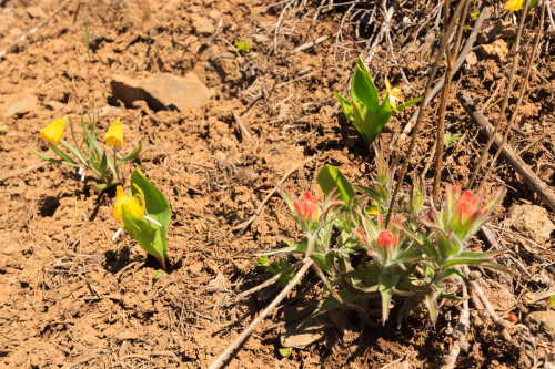 Paintbrush, Glacier Lilies, and Yellow Bells