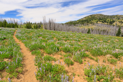 A carpet of lupins and other wildflowers surround the trail.