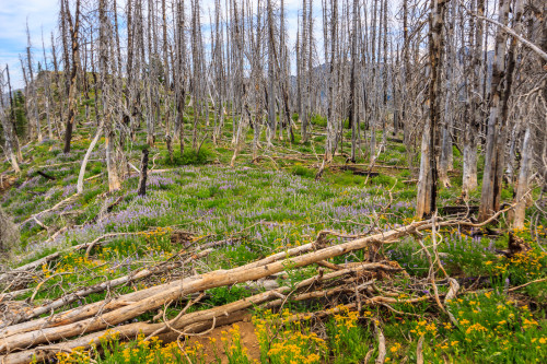 Fires destroyed the forest, but regrowth begins with a stunning display of flowers.