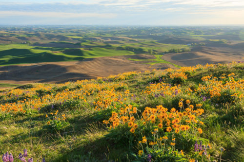 Balsamroot over the Palouse