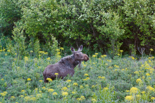 We came across this moose on the way down. It made up for the lack of a sunset.
