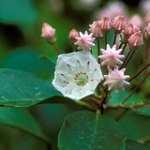 "Mountain Laurel • <a style=""font-size:0.8em;"" href=""http://www.flickr.com/photos/56452031@N00/396119770/"" target=""_blank"">View on Flickr</a>"