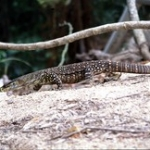 "Australian Lace Monitor • <a style=""font-size:0.8em;"" href=""http://www.flickr.com/photos/56452031@N00/400897736/"" target=""_blank"">View on Flickr</a>"
