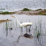 """Great Egret • <a style=""""font-size:0.8em;"""" href=""""http://www.flickr.com/photos/56452031@N00/393393457/"""" target=""""_blank"""">View on Flickr</a>"""