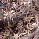 "Australian Lace Monitor • <a style=""font-size:0.8em;"" href=""http://www.flickr.com/photos/56452031@N00/400897917/"" target=""_blank"">View on Flickr</a>"