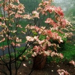 """Dogwood • <a style=""""font-size:0.8em;"""" href=""""http://www.flickr.com/photos/56452031@N00/406172188/"""" target=""""_blank"""">View on Flickr</a>"""