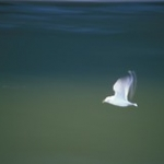 """Gull in Flight • <a style=""""font-size:0.8em;"""" href=""""http://www.flickr.com/photos/56452031@N00/414260921/"""" target=""""_blank"""">View on Flickr</a>"""
