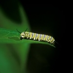 """Monarch • <a style=""""font-size:0.8em;"""" href=""""http://www.flickr.com/photos/56452031@N00/217412275/"""" target=""""_blank"""">View on Flickr</a>"""