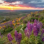 "Lupine and Sunset on Steptoe Butte • <a style=""font-size:0.8em;"" href=""http://www.flickr.com/photos/56452031@N00/26490870690/"" target=""_blank"">View on Flickr</a>"
