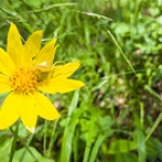 "Heart-leaved Arnica and Spider • <a style=""font-size:0.8em;"" href=""http://www.flickr.com/photos/56452031@N00/41932583524/"" target=""_blank"">View on Flickr</a>"
