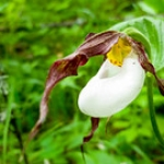 "Mountain Lady's Slipper • <a style=""font-size:0.8em;"" href=""http://www.flickr.com/photos/56452031@N00/28078956187/"" target=""_blank"">View on Flickr</a>"