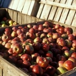 """Apples • <a style=""""font-size:0.8em;"""" href=""""http://www.flickr.com/photos/56452031@N00/1571797917/"""" target=""""_blank"""">View on Flickr</a>"""
