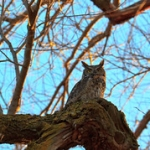 "Great Horned Owl • <a style=""font-size:0.8em;"" href=""http://www.flickr.com/photos/56452031@N00/4380700895/"" target=""_blank"">View on Flickr</a>"