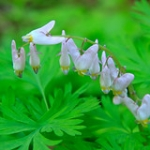 "Dutchman's Breeches • <a style=""font-size:0.8em;"" href=""http://www.flickr.com/photos/56452031@N00/5874484848/"" target=""_blank"">View on Flickr</a>"