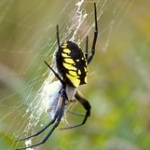 "Black and Yellow Garden Spider • <a style=""font-size:0.8em;"" href=""http://www.flickr.com/photos/56452031@N00/2956610726/"" target=""_blank"">View on Flickr</a>"