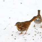 "Fox Sparrow • <a style=""font-size:0.8em;"" href=""http://www.flickr.com/photos/56452031@N00/4354507512/"" target=""_blank"">View on Flickr</a>"