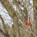"""Northern Cardinal • <a style=""""font-size:0.8em;"""" href=""""http://www.flickr.com/photos/56452031@N00/4354509354/"""" target=""""_blank"""">View on Flickr</a>"""