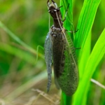 "Dobsonfly • <a style=""font-size:0.8em;"" href=""http://www.flickr.com/photos/56452031@N00/4760322687/"" target=""_blank"">View on Flickr</a>"
