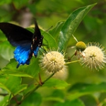 "Pipevine Swallowtail • <a style=""font-size:0.8em;"" href=""http://www.flickr.com/photos/56452031@N00/4758792091/"" target=""_blank"">View on Flickr</a>"