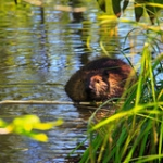 "Beaver • <a style=""font-size:0.8em;"" href=""http://www.flickr.com/photos/56452031@N00/4769273813/"" target=""_blank"">View on Flickr</a>"