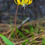 "Glacier Lily • <a style=""font-size:0.8em;"" href=""http://www.flickr.com/photos/56452031@N00/40726583923/"" target=""_blank"">View on Flickr</a>"