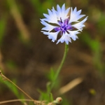 "Cornflower • <a style=""font-size:0.8em;"" href=""http://www.flickr.com/photos/56452031@N00/47640047292/"" target=""_blank"">View on Flickr</a>"