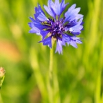 "Cornflower • <a style=""font-size:0.8em;"" href=""http://www.flickr.com/photos/56452031@N00/47640053492/"" target=""_blank"">View on Flickr</a>"