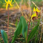 "Glacier Lily • <a style=""font-size:0.8em;"" href=""http://www.flickr.com/photos/56452031@N00/47693047881/"" target=""_blank"">View on Flickr</a>"