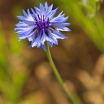"Cornflower • <a style=""font-size:0.8em;"" href=""http://www.flickr.com/photos/56452031@N00/47693178531/"" target=""_blank"">View on Flickr</a>"