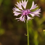 "Cornflower • <a style=""font-size:0.8em;"" href=""http://www.flickr.com/photos/56452031@N00/47693179761/"" target=""_blank"">View on Flickr</a>"