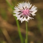 "Cornflower • <a style=""font-size:0.8em;"" href=""http://www.flickr.com/photos/56452031@N00/47693180981/"" target=""_blank"">View on Flickr</a>"