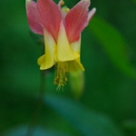 "Crimson Columbine • <a style=""font-size:0.8em;"" href=""http://www.flickr.com/photos/56452031@N00/6093996529/"" target=""_blank"">View on Flickr</a>"