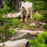 "Mountain Goat • <a style=""font-size:0.8em;"" href=""http://www.flickr.com/photos/56452031@N00/7591296152/"" target=""_blank"">View on Flickr</a>"