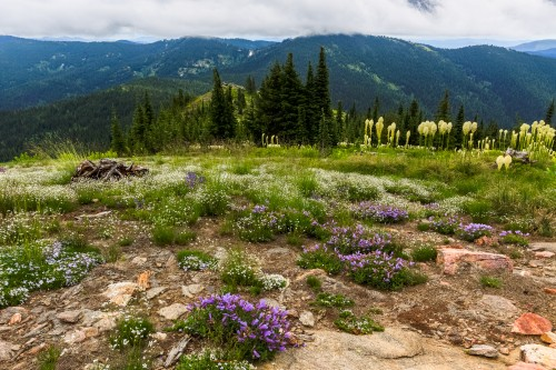 Wildflowers blooming in the meadow on Grandmother Mountain.