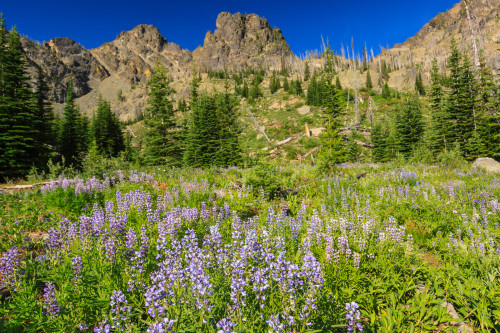 Fields of lupine in bloom color the alpine meadow.